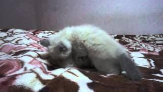 Невские Маскарадные котята питомник Эльфийский подарок