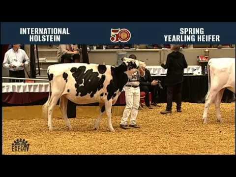 709 - Holstein Spring Yearling Heifer WORLD DAIRY EXPO 2016 2