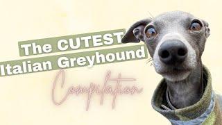 THE CUTEST Italian Greyhound compilation
