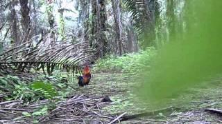 ayam hutan-king balung.wmv