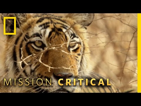 Tigers Fight For Territory | Mission Critical