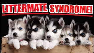 Siberian Huskies And Littermate Syndrome/Separation Anxiety