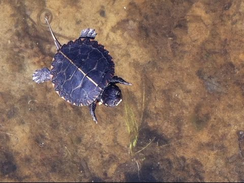 Local Wildlife : Baby Painted Turtle @ The Lake