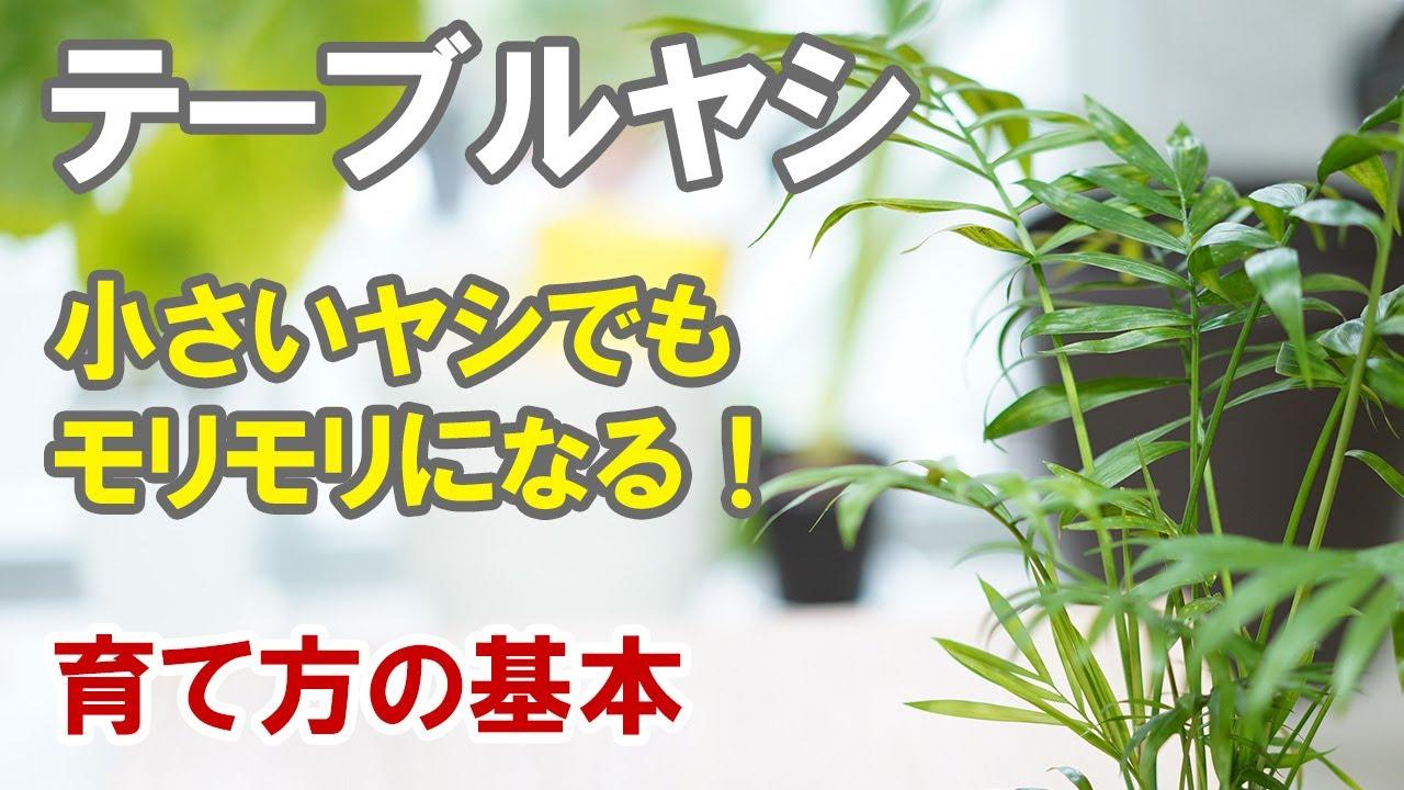 テーブルヤシの育て方 手軽に育てられる小さめの観葉植物
