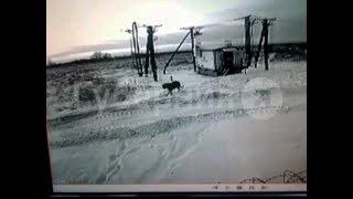 Несколько цепных собак растерзал тигр в двух  поселениях Хабаровского района. MestoproTV