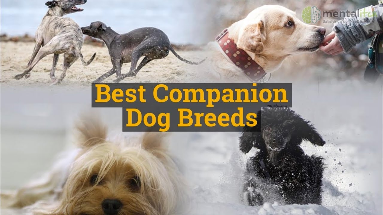 Best Companion Dog Breeds