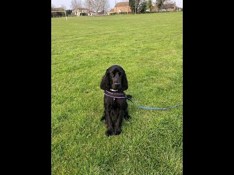 Alfie - Cocker Spaniel - 4 Week Intensive Dog Training Course
