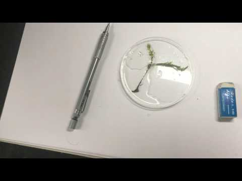 Fantastic Mosses and how to draw them 1: Hart's tongue thyme moss (Plagiomnium undulatum)