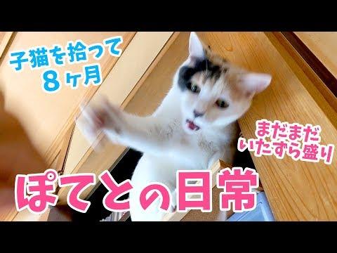 子猫を拾って8ヶ月・ぽてとの日常「いたずらがやめられない猫」