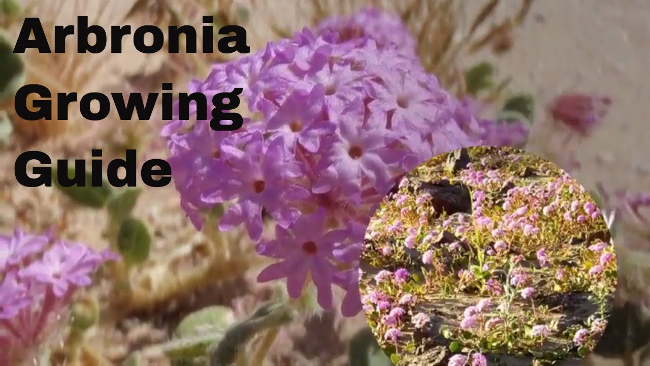 Abronia plant growing guide by gardenershq youtube abronia plant growing guide by gardenershq mightylinksfo