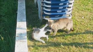 Revierverteidigung Katze , Territorial defense cat , Catfight