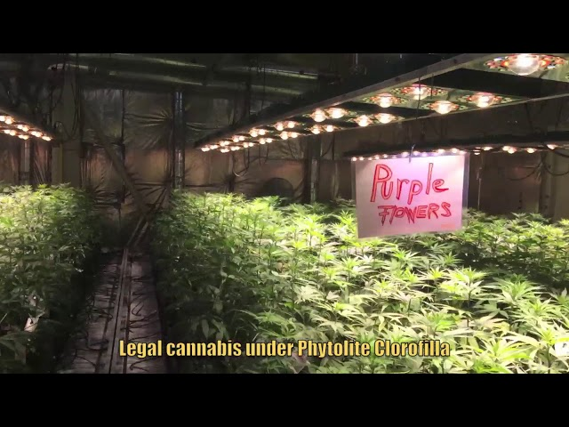 Phytolite products: Legal cannabis