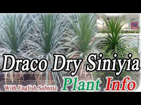 "Better Growth Of Draco Dry Siniyia Plant ""Complete Guidence"""