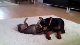 Dachshund And Doberman Baby