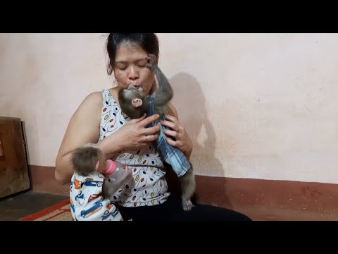 Baby Monkey Lu And Lusi Eagerly Waited For Milk Like Two