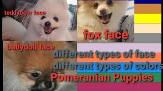 3 different face types of Pomeranian dogs/different colors of pomeranian dogs/gizmo Martin American