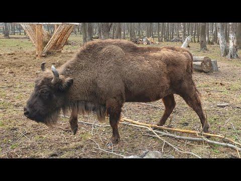 Экскурсия к зубрам в Приокско-Террасном заповеднике