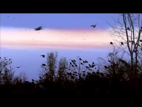 Nature Documentary   A Murder of Crows   Full Documentary
