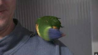 Star Wars R2D2 Bird - Greg the Rainbow Lorikeet