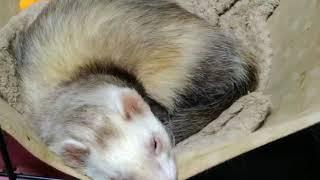 みんな遊びに出かけたのに何故か一人だけまだまだ眠たいオコジョさん   今日もマイペースでゆっくり #フェレット#寝顔#オヤスミ中.