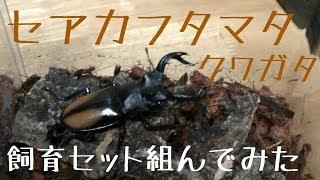【昆虫飼育】セアカフタマタクワガタを衝動買いしてしまったので飼育セット組んでみた【クワガタ】 thumbnail