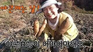 야콘수확시기와 야콘효능, 야콘재배방법, 야콘먹는 방법알…
