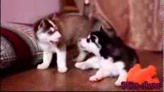 Husky Puppies Fighting Over Toy,and Then Comes Mama Husky And Takes Toy Away