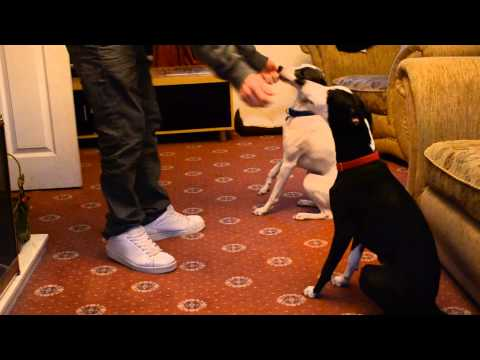 Pet Whippet Dogs Litter-Mates Playing and Sleeping