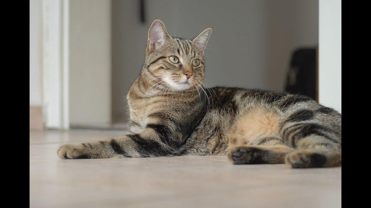 Gato Europeo De Pelo Corto Gato C 233 Ltico Raza De Gato