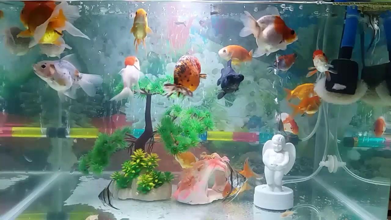 Ikan Mas Koki Manfish Dan Corydorus Dalam Satu Aquarium By