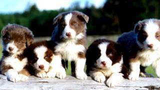 Порода собак. Бордер-колли. Очень умная и очень смышленая порода собак