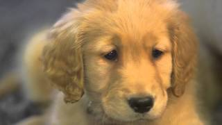 Adorable New Golden Retriever Puppy