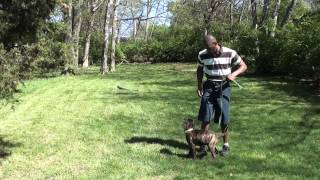Guy Nashville Dog Trainer 099: Training A Bull Mastiff Puppy.