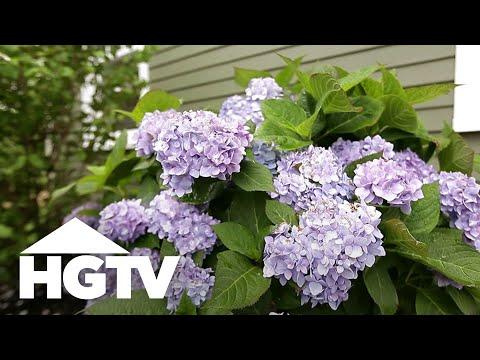 How To Plant Hydrangeas   Gardening Tips   HGTV