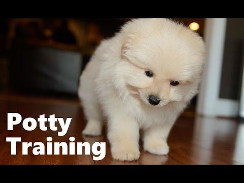 how to potty train a maltipoo