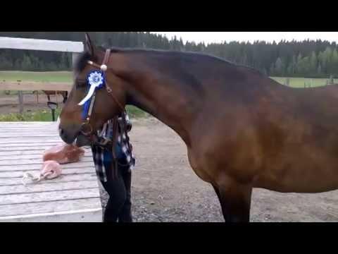 Hevonen valitsee Masajon