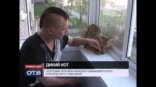 Путешествия камышового кота: из вольеры -- в жилой дом