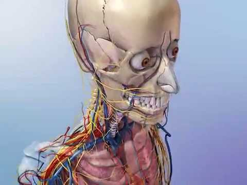 Skeleton protects vital organs - YouTube