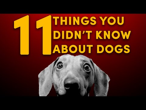 chihuahua dogs 101 omg facts about chihuahua dog