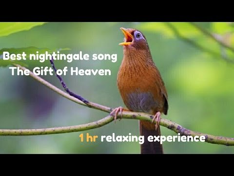 Best nightingale song- The Gift of Heaven- Full HD -Nature Video