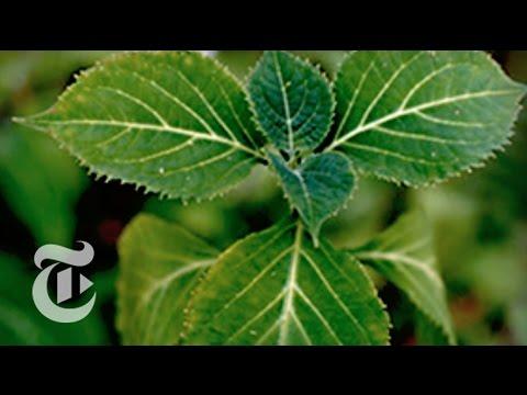 Salvia: A Virtual Drug Craze | The New York Times