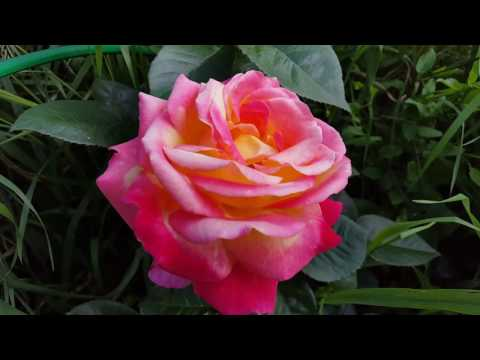 Роза Pullman Orient Express отцветает