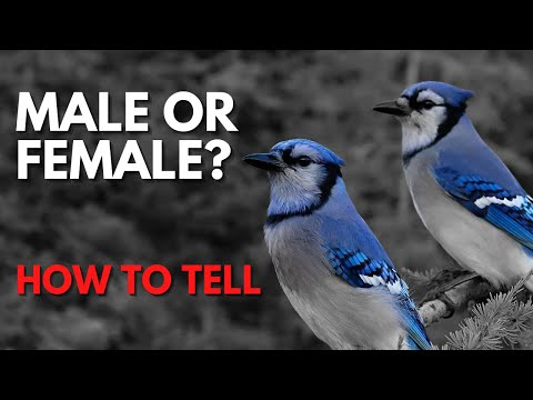How To Tell Male And Female Blue Jays Apart Is It Even Possible