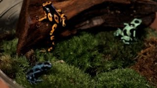 5 Cool Facts about Poison Dart Frogs | Pet Reptiles