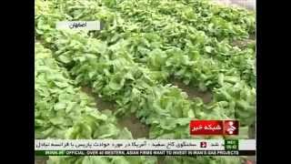 Iran Isfahan province, Greenhouse Iceberg Lettuce cultivation پرورش كاهو گلخانه اي اصفهان ايران