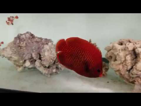 Golden Angelfish $319 - Indo