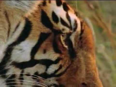 Bengal Tigers Average 11 Feet In Length And 550 Lbs On Average. Good Video, Check It Out.