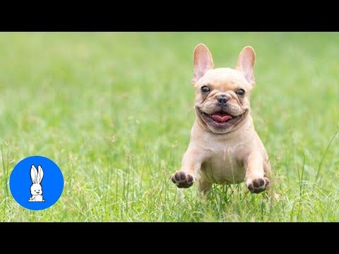 Funny French Bulldogs Compilation // TRY NOT TO LAUGH!!