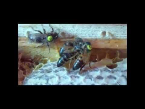 Купить Пчёл Карника. Пчелопакеты вывозим 20 мая. Задержка в связи .