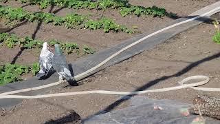 10.04.19. Такла своеобразная порода голубей.  Takla is a peculiar breed of pigeons.